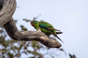 A Swift Parrot at Tarcutta Hills Reserve. Photo Richard Taylor.