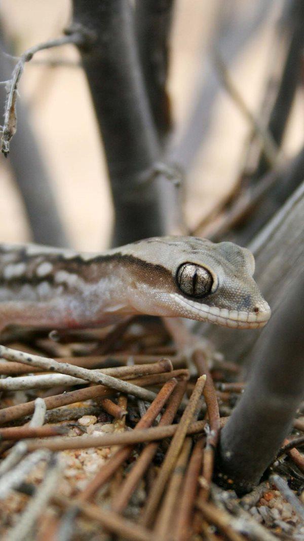 Western Stone Gecko at Charles Darwin Reserve, Western Australia. By Dale Fuller