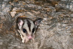 A Sugar Glider. Photo Steve Parish.