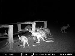 Bush Heritage uses motion scanning cameras at Cravens Peak and Ethabuka reserves to monitor nocturnal movement of animals.