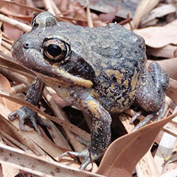 Many frogs are resident on Reedy Creek Reserve. Photo by Matt McLean.