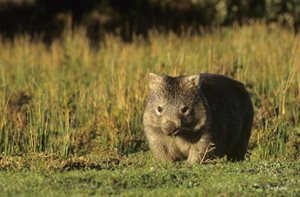 The Bare-nosed Wombat is a common sight at Scottsdale. Photo Jiri Lochman / Lochman Transparencies.