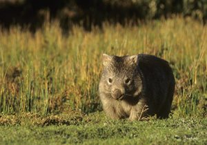 A Bare-nosed Wombat. Photo Jiri Lochman / Lochman Transparencies.