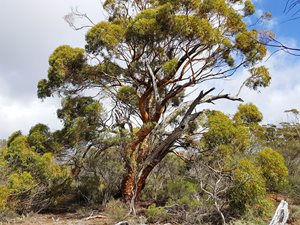 Gimlet Gum on Charles Darwin Reserve. Photo Craig Allen.