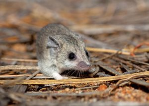 A Little Long-tailed Dunnart on our Charles Darwin Reserve, WA. Photo Ben Parkhurst.