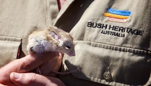 A Dusky Hopping Mouse in hand at Boolcoomatta Reserve, SA. Photo Peter Morris.