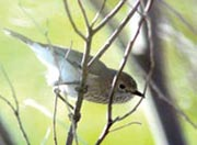 Brown thornbill, Edgbaston Reserve, Qld. Photo Wayne Lawler / EcoPix.