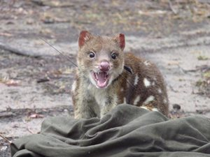 Spotted-tailed Quolls are now the largest carnivores on the mainland. Photo Rowena Hamer.