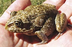 Giant water-holding frog. Photo Sandy Walters.