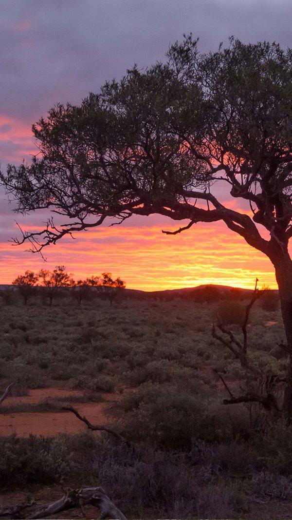 Bullock bush in sunset at Boolcoomatta Reserve, South Australia. By Bill Doyle