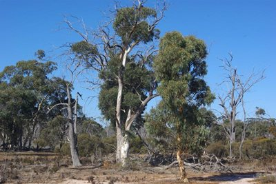 Three phases of Wandoo, in decline, maturity and recovery. Photo Angela Sanders.