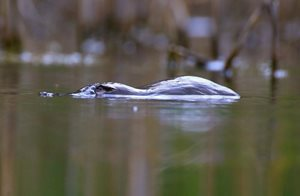 Up for air. A Platypus floats along the Murrumbidgee River on Scottsdale Reserve. Photo Richard Taylor.
