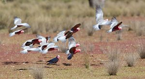 A flock of Galahs at Naree. Photo Peter Morris.