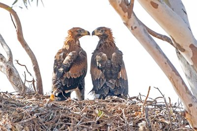 Wedge-tailed Eagles mate for life. Photo Albert Wright (www.gypsytwitchers.com)