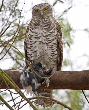This Powerful Owl has caught a Magpie for its dinner. Photo Patrick Kavanagh.*