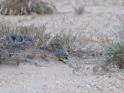 Night Parrot. Photo Nick Leseberg.
