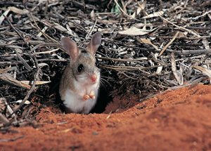 Spinifex Hopping Mouse. Photo by Jiri Lochman.