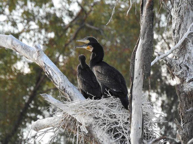 Adult Great Cormorants and chick on Naree Reserve, NSW. Photo Roxane Francis.