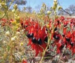 Sturt's desert pea growing at Bon Bon Station Reserve. Photo Steve Heggie.