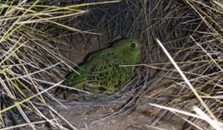 The night Parrot. Photo by Steve Murphy