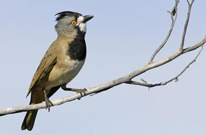 The Crested Bellbird. Photo Rob Drummond
