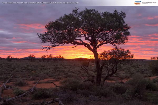 Bullock bush in sunset at Boolcoomatta Reserve, South Australia