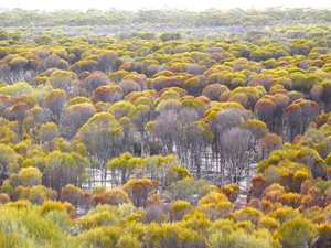 Woodlands at Charles Darwin Reserve, WA. Photo Bronwyn Willis.