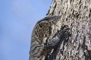 A tree climbing Heath Monitor on our Monjebup Reserve, WA. Photo Jiri Lochman.