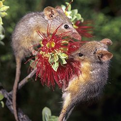 Honey Possums.
