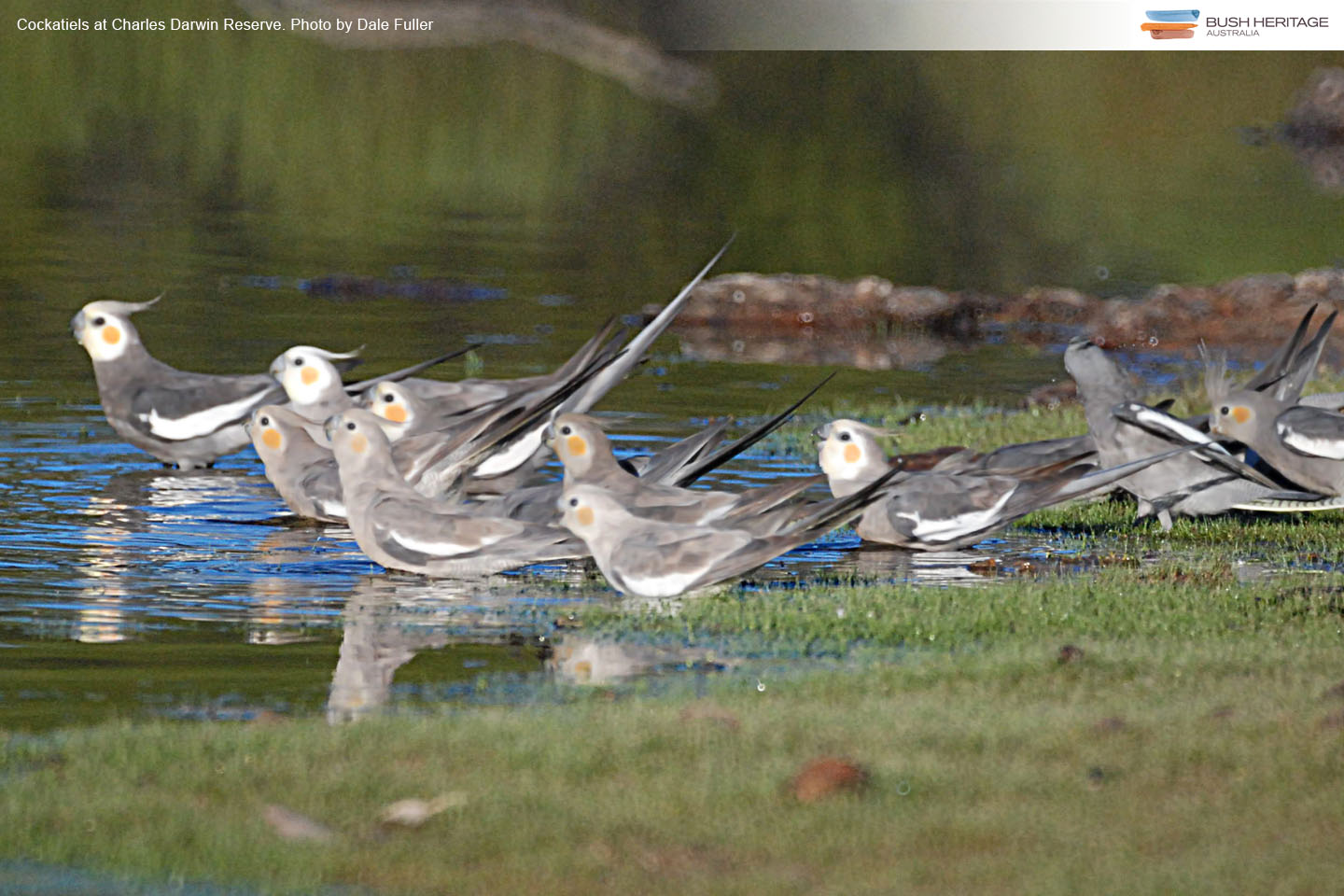 Cockatiels drinking at a waterhole on Charles Darwin Reserve, Western Australia