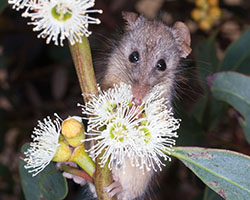 Photo of honey possum