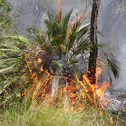 Cycad burning. Photo by Emma Burgess