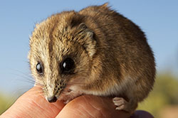 Stripe-faced dunnart