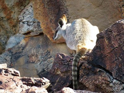 A Yellow-footed Rock Wallaby on Boolcoomatta. Photo Janet Gardner.
