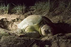 A nesting turtle. Photo by Annette Ruzicka