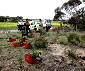 Green Army volunteers unload Corackerup Moort (Eucalyptus vesiculosa) seedlings to be planted at Monjebup Reserve.