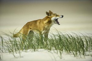 A Dingo. Photo Steve Parish.