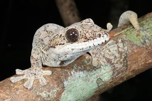 Giant tree gecko (Pseudothecadactylus australis). Photo by Anders Zimny