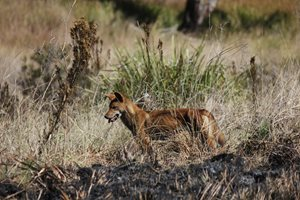 A dingo on Carnarvon Reserve, Qld. Dingos play a protective role for native species in supressing cats and foxes.