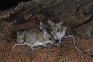 Spinifex Hopping Mice. Photo Steve Parish.