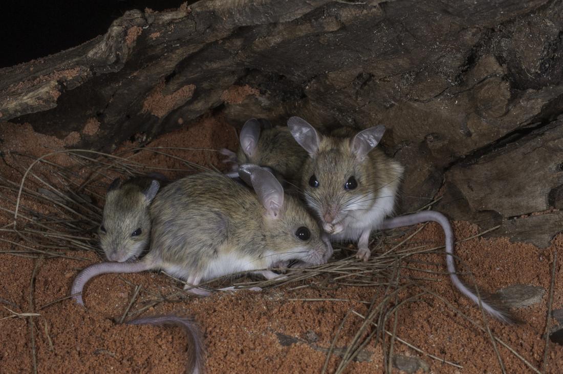 Hopping Mice - Bush Heritage Australia