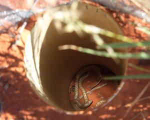 A Western Brown Snake in a pitfall trap, ready to be carefully measured and set free. Photo Kate Cranney.