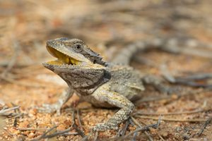 A Dwarf Bearded Dragon at Charles Darwin Reserve. Photo Ben Parkhurst.