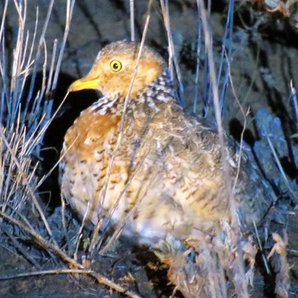 Plains Wanderer. Photo Ron and Di Davies.