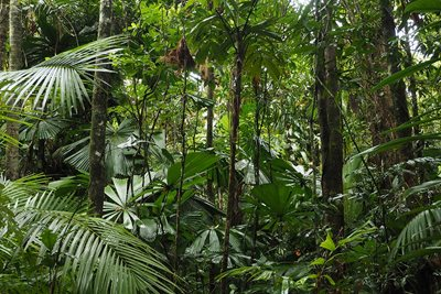 Cassowary habitat at our Fan Palm Reserve. Photo Craig Allen.
