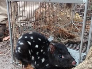 An Eastern Quoll caught and collared for research in the Tasmanian Midlands. Photo Rowena Hamer.