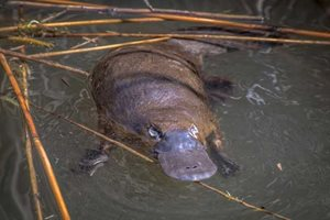 A Platypus photographed during the recent surveys on Scottsdale Reserve. Photo Richard Taylor.
