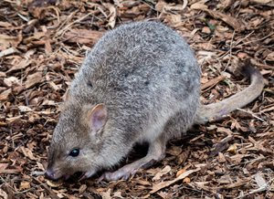 Eastern Bettong, Tasmania.