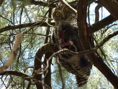 The Powerful Owl. Photo Peter Saunders.
