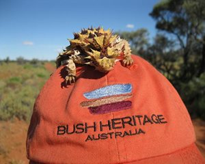 Many of our staff love Thorny Devils. Photo Nella Lithgow at Cravens Peak, Qld.